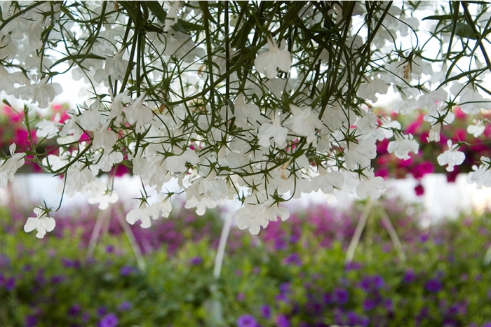 kesakukka-puutarha-amppeli-keskumaki-sastamala-7